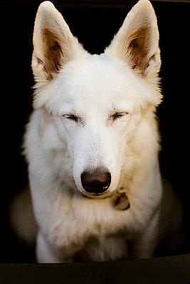 White dog - p1076m948482 by TOBSN