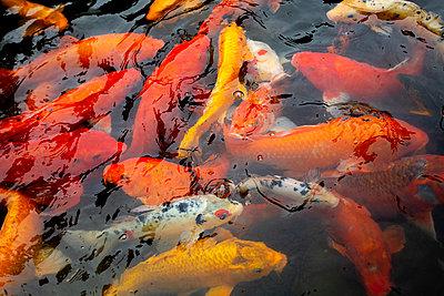China, koi carps swimming in pond - p817m2204201 by Daniel K Schweitzer