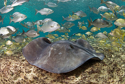 Stingray and fish, Cozumel, Mexico, Caribbean, North America - p871m731924 by Antonio Busiello