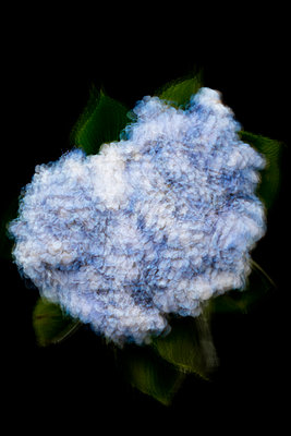 Blue and white hydrangea, strobe - p919m2192492 by Beowulf Sheehan