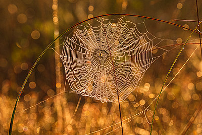 View of spider web at sunset - p312m2145953 by Mikael Svensson