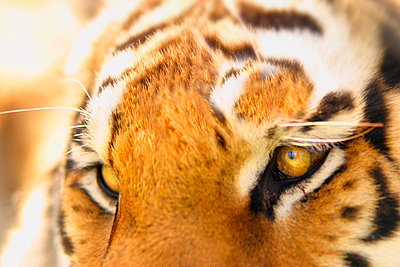A tiger's eyes - p4420499f by Design Pics