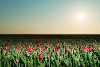 Tulip fields - p429m819791 by Mischa Keijser