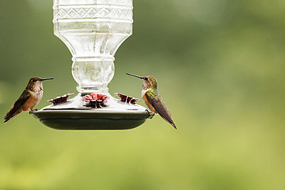 Rufous Hummingbird  at a feeder in the Portage Valley, South-central Alaska; Alaska, United States of America - p442m1216434 by Doug Lindstrand