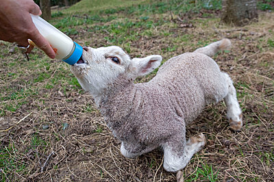 Feeding lamb with a baby bottle - p589m1132525 by Thierry Beauvir