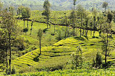 Tea plantations covering the undulating hills in Munnar, Kerala, India - p871m2057999 by Annie Owen