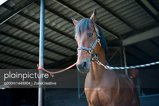 Horse on farm tied at pole