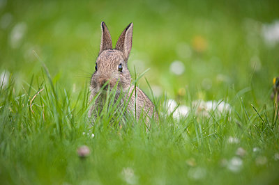 A baby rabbit sits in the tall grass watching out. - p1433m1531934 by Wolf Kettler