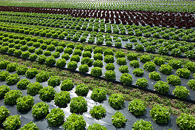Gemüseanbau - p147m945021 von Peter Stüber