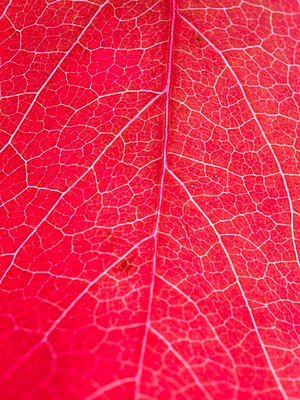 Close-up Of Red Maple Leaf With Visible Veins   - p847m988280 by Johan Strindberg