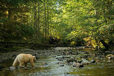 Spirit Bear, or Kermode Bear (Ursus americanus kermodei) fishing in the Great Bear Rainforest; Hartley Bay, British Columbia, Canada - p442m2008902 by Robert Postma