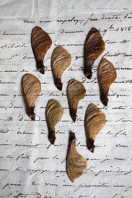 Früchte des Ahornbaumes auf einem Brief - p685m1045491 von Lena Kah