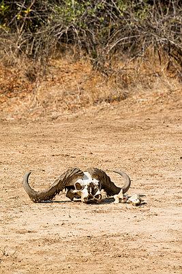 Tierschädel im Südluangwa-Nationalpark - p842m1538226 von Renée Del Missier