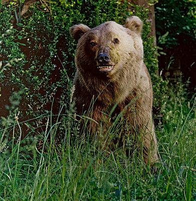 Bear - p567m720729 by Sandrine Agosti Navarri