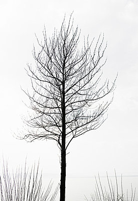 A leafless tree by a lake Sweden - p31222857 by Roine Magnusson