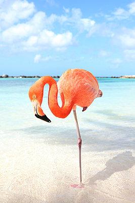 Flamingos at Aruba - p045m912533 by Jasmin Sander
