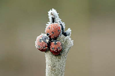 Three seven-spotted ladybirds, Coccinella septempunctata, on a twig covered with frost - p300m983537f by Mark Johnson