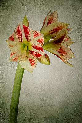 Amaryllis - p451m2027156 von Anja Weber-Decker