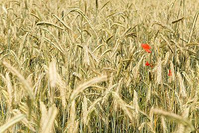 Klatschmohn in einem Getreidefeld - p473m670448f by STOCK4B-RF