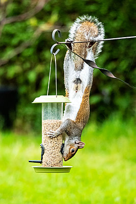A Grey Squirrel upside down eating seeds from a bird feeder - p1302m2230078 by Richard Nixon