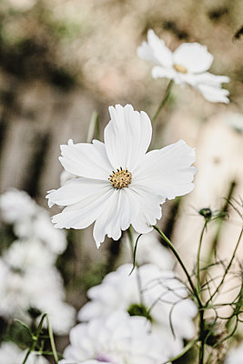 Cosmos Purity - p1470m1539164 by julie davenport