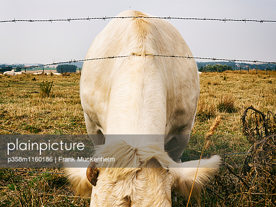 Kuh hinter einem Weidezaun - p358m1160186 von Frank Muckenheim