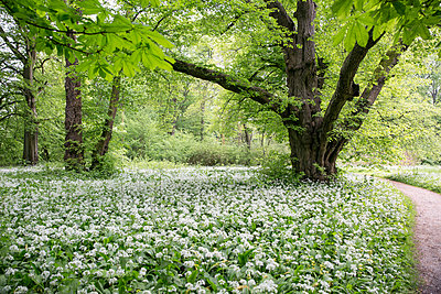 Germany, Ruegen, Putbus, park with blossoming ramson - p300m2070324 by Maria Maar