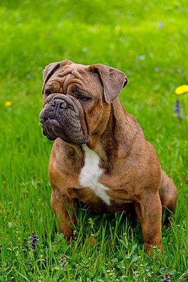 Portrait of English Bulldog sitting on grass - p300m2198529 by Lisa und Wilfried Bahnmüller