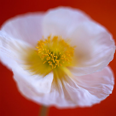 White poppy close-up - p4950175 by Jeanene Scott