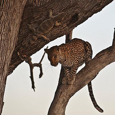 Leopard in tree near a Monitor Lizard - p884m863371 by Sergey Gorshkov photography