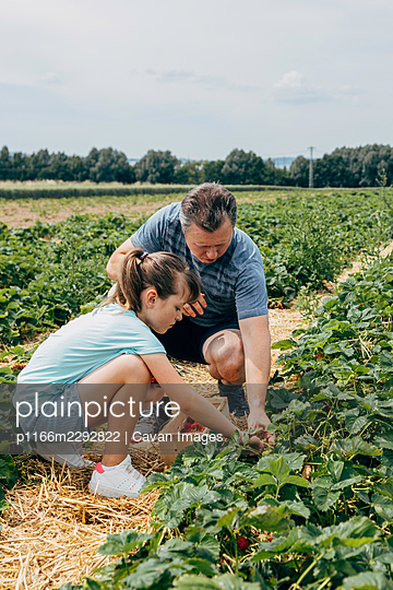 Dad and daughter harvest strawberries on the farm field - p1166m2292822 by Cavan Images