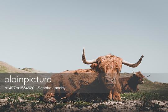 Hochlandrinder auf Weide - p1497m1584620 von Sascha Jacoby
