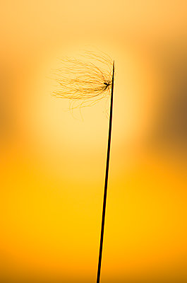 Silhouetted Grass and Sun - p1562m2141852 by chinch gryniewicz