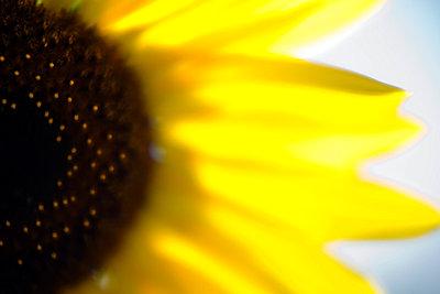 Sonnenblume nah - p6790076 von Jessica Alice Hath