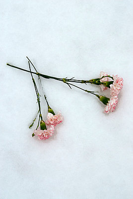 Carnation flower in the snow - p971m900291 by Reilika Landen