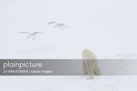 a polar bear walks on snow and two gulls fly in front of him - p1166m2130006 by Cavan Images