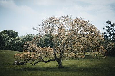 Blossoming tree in the meadow, Northern Ireland - p1681m2283650 by Juan Alfonso Solis