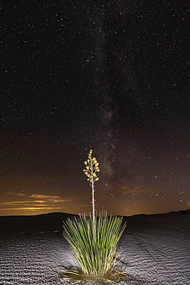 USA, New Mexico, Chihuahua Desert, White Sands National Monument, soap tree at night - p300m1417161 by Fotofeeling