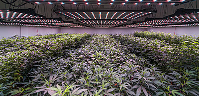 Marajuana Plantation At Commercial Growth In Washington State - p343m1218136 by Alasdair Turner