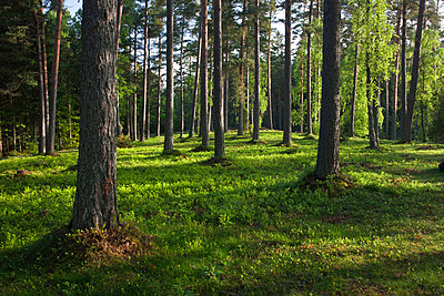 Scenic pine forest - p575m719262 by Sven Halling