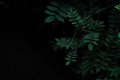 Dark green leaves with blank space background - p1166m2212512 by Cavan Images