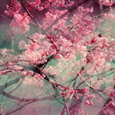Branches and pink blossoms, multiple exposure - p1640m2245913 by Holly & John