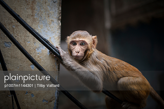 Monkey on electric wires - p1007m1144301 by Tilby Vattard