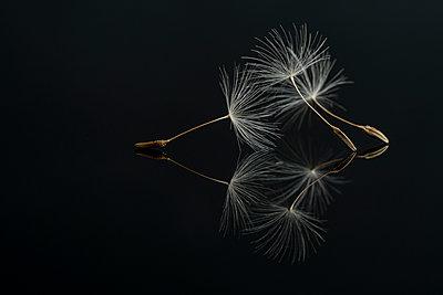Three Dandelion seeds on a black reflective surface - p1302m2185003 von Richard Nixon
