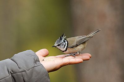 Finland, Kuhmo, rth Karelia, Kainuu, Hand with European crested tit (Lophophanes cristatus) - p300m2199668 by Christian Zappel