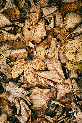 Old rotting leaves on woodland floor - p597m2142975 by Tim Robinson