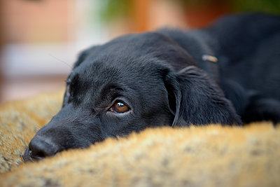 Portrait of black Labrador puppy - p300m1113342f by Mark Johnson