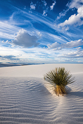 Yucca Plant, White Sands National Monument, Alamogordo, New Mexico, USA - p651m2007097 by Tom Mackie