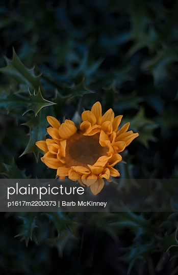 Heart Shaped Daisy Stuck in Holly Bush - p1617m2200373 by Barb McKinney