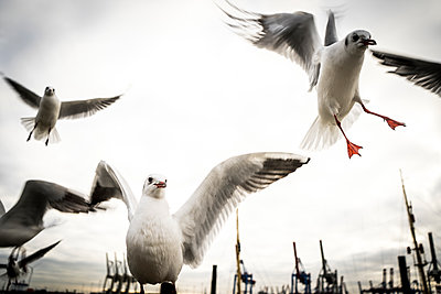 Seagulls in flight - p075m2071218 by Lukasz Chrobok